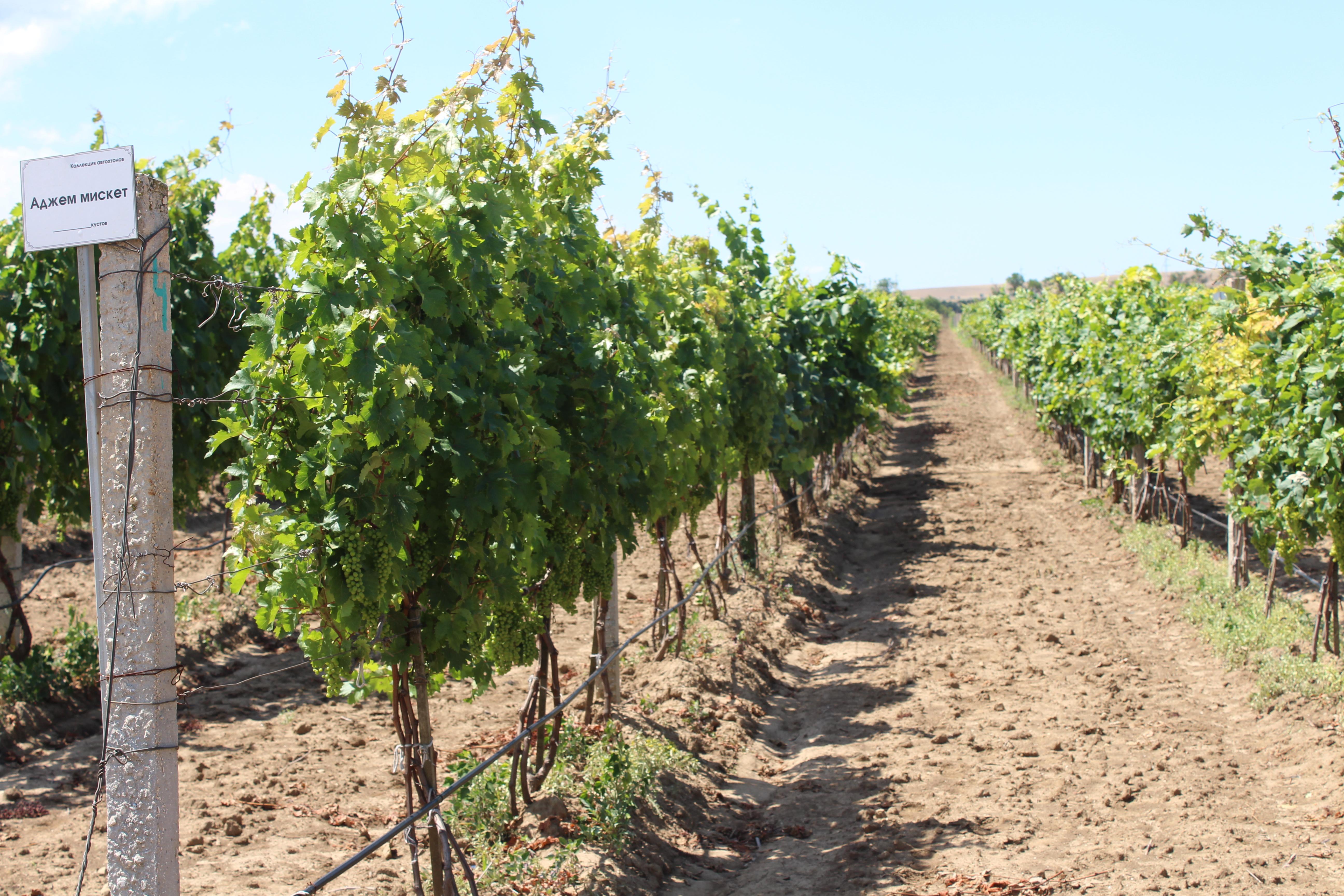 Что такое международные сорта винограда?